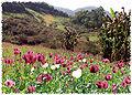 Opium, Schlafmohn, Anbau  Bild (Ausschnitt): © kein copyright -