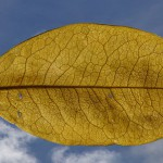 Coca leaf / Author: Grupo Colombio / Quelle: Wikimedia Commons / License: Attribution-ShareAlike 3.0 Unported