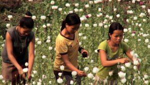 Kinder Opium Ernte