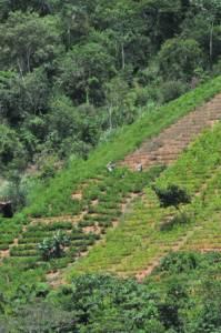 Koka-Plantage