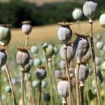Schlafmohn Myanmar ist hinter Afghanistan der zweitgrößte Opiumproduzent weltweit. | Bild (Ausschnitt): © Alastair Rae [CC BY-SA 2.0]  - Flickr