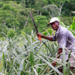 Ein Mann steht mitten im Kokabusch, mit einer Machete in der Hand.  | Bild (Ausschnitt): © USAID U.S. Agency for International Development [CC BY-NC-ND 2.0]  - Flickr